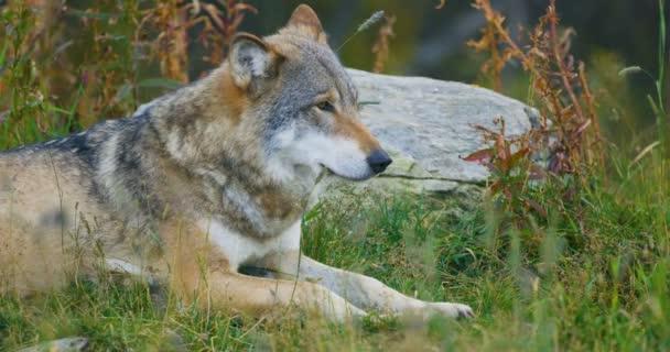 Velké dospělé mužské šedý vlk spočívá v lese