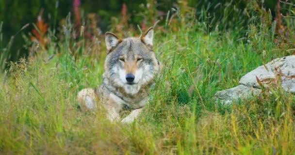 Jedna velké dospělé mužské šedý vlk spočívá v lese