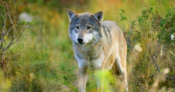 Velký šedý vlk voní po soupeři a nebezpečí v lese