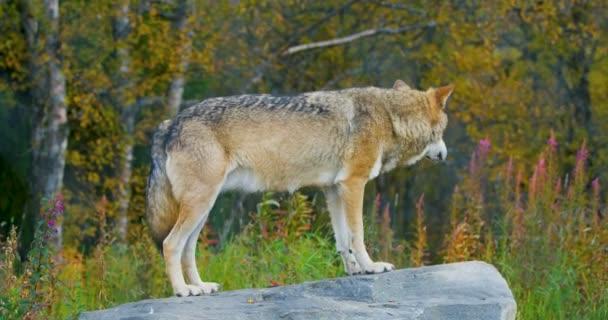 Velký šedý vlk stojící na skále v lese