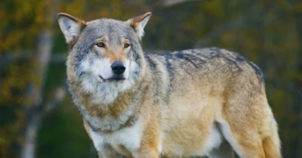 Közeli kép a gyönyörű szürke Farkas állt az erdők megfigyelése