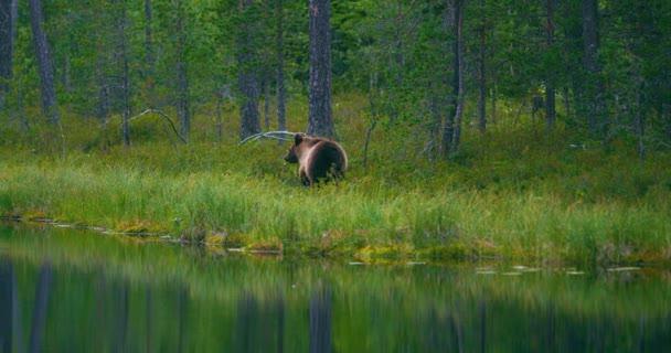 Divoký mladý medvěd hnědý procházky v lese hledá jídlo