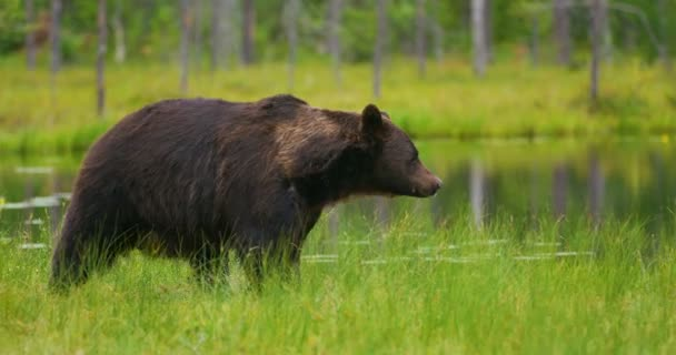 Velký dospělý medvěd hnědý chodit a běhat v lese