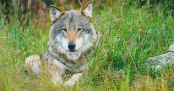 Detail z velké dospělé mužské šedý vlk spočívá v lese