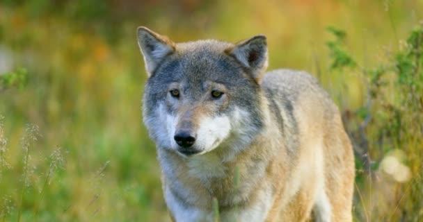 Közeli kép: a szürke Farkas szaga után a rivális, és a veszély, az erdő