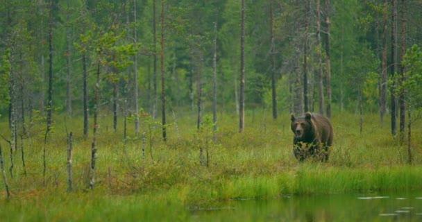 Vadon élő felnőtt barna medve séta az erdőben, miközben esik az eső