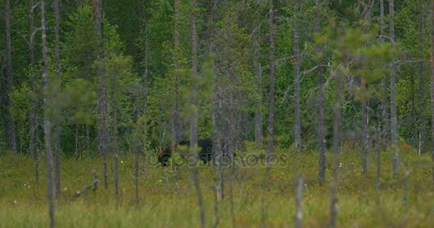 Nagy barna medve séta ingyenes a sűrű erdőben