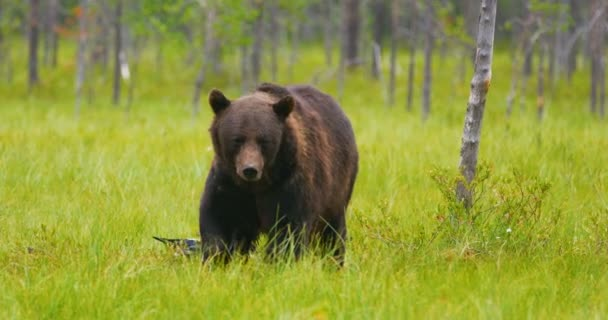Large adult brown bear walking in the forest while birds flying in the back
