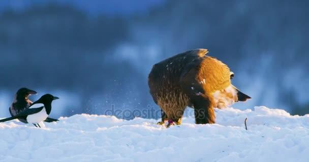 Golden eagle jí na mrtvého zvířete v horách v zimě