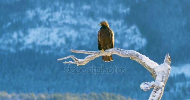 Golden eagle sedí na stromě v horách v zimě