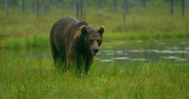 Detail z velkých dospělý medvěd hnědý zdarma pěší v lese v noci