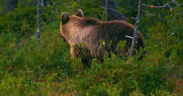 Mladá a hravá brown medvídě běží zdarma v bažině