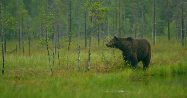 Ingyenes nagy felnőtt barna medve séta az erdőben éjszaka