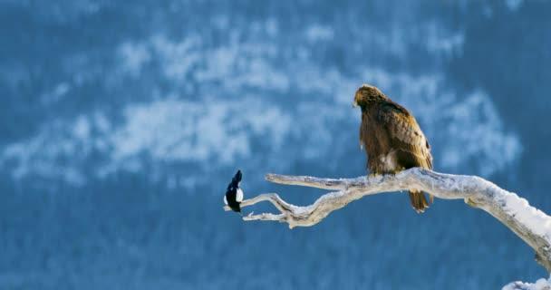 Orel a Straka sedí na stromě v horách v zimě