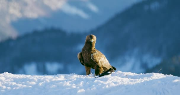 Hrdý orel jí na mrtvého zvířete v horách v zimě