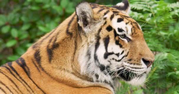 Close-up of tiger in forest during rainy season