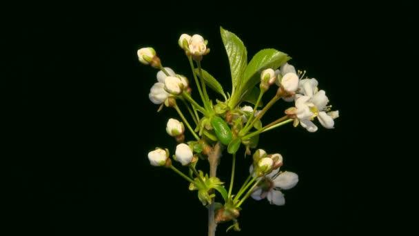 Virágzó cseresznye virág