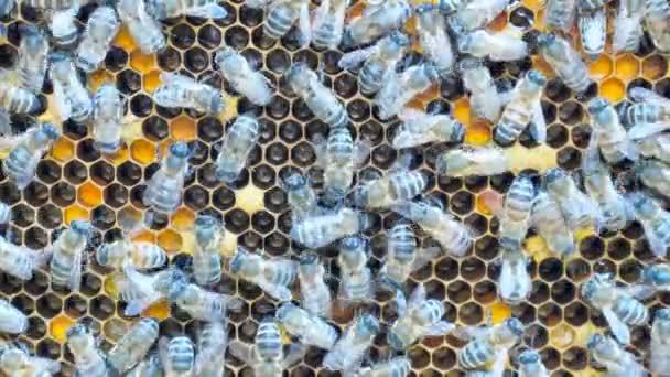 Honigbienen auf Rahmen.