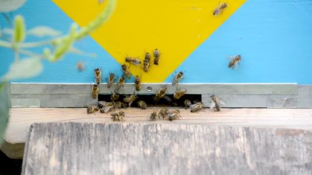 Mézelő méhek repülés.