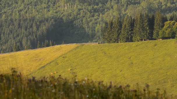 Cows grazing in a mountain meadow in the Carpathians. Time lapse.