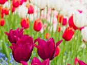 vörös és fehér tulipánok
