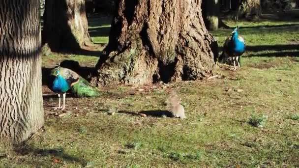 Krásný samec mnohobarevný pávi interagují s veverkou na jaře ve veřejném parku Beacon Hill, Victoria Bc
