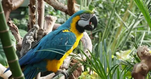 Modro-zlaté Macaw (Ara ararararauna) hlodá zelené listy, praskne na motýla přistání poblíž