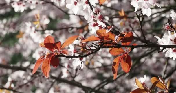 Cherry Blossom, Sakura Flower, Blossoming Cherry Tree In Full Bloom with slight breeze