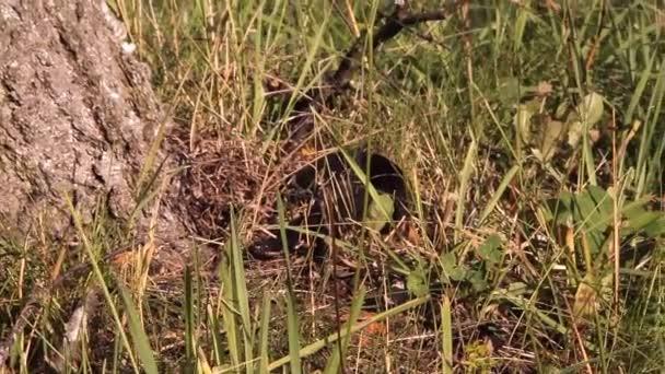 černý had, zmije leží na trávě, syčení