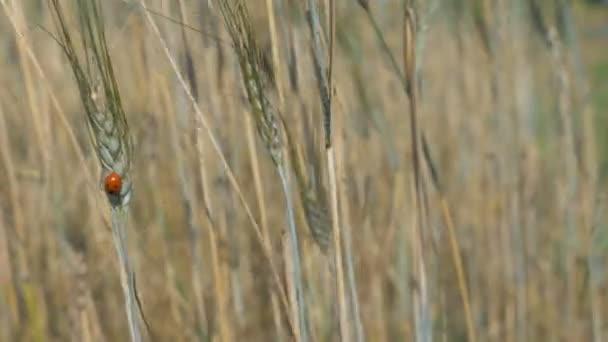 4k: malé berušky v pšeničné pole s větrem