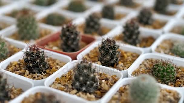 4k Powolny Ruch Rozne Mini Kaktus W Doniczce Mini