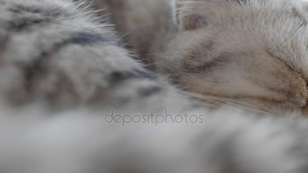 4K : Close up of Scottish fold tabby kitten sleeping on lazy day, Slow motion shot