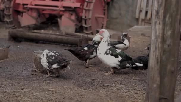 Enten laufen auf dem Boden, übersät mit Stroh, im Hintergrund ein alter roter Traktor.