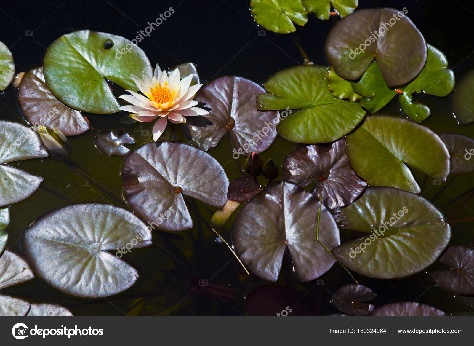 Water Lily Pond Water One Probably Most Beautiful Aquatic Flower