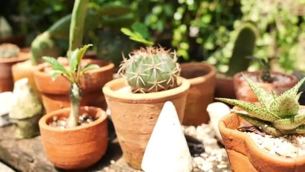 Dekorációs kaktusz növények cserépben, hobbi koncepció.