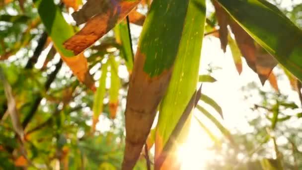 Sonnenstrahl schimmert durch grüne Blätter Bambusbäume, Jahrgang.