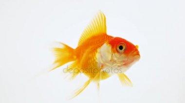 Pesce rosso nuota acquario video stock jon2330 184259452 for Vaschetta per pesci rossi prezzi