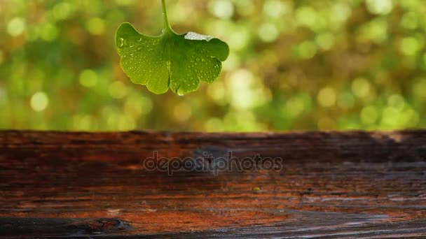 Water Drop Falling From Ginkgo Leaf on wooden table. Natural remedy, nutritional supplement.
