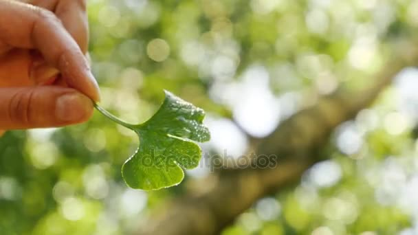 Water Drop Falling From Ginkgo Leaf in nature. Ginkgo biloba, nutritional supplement. Natural remedy.