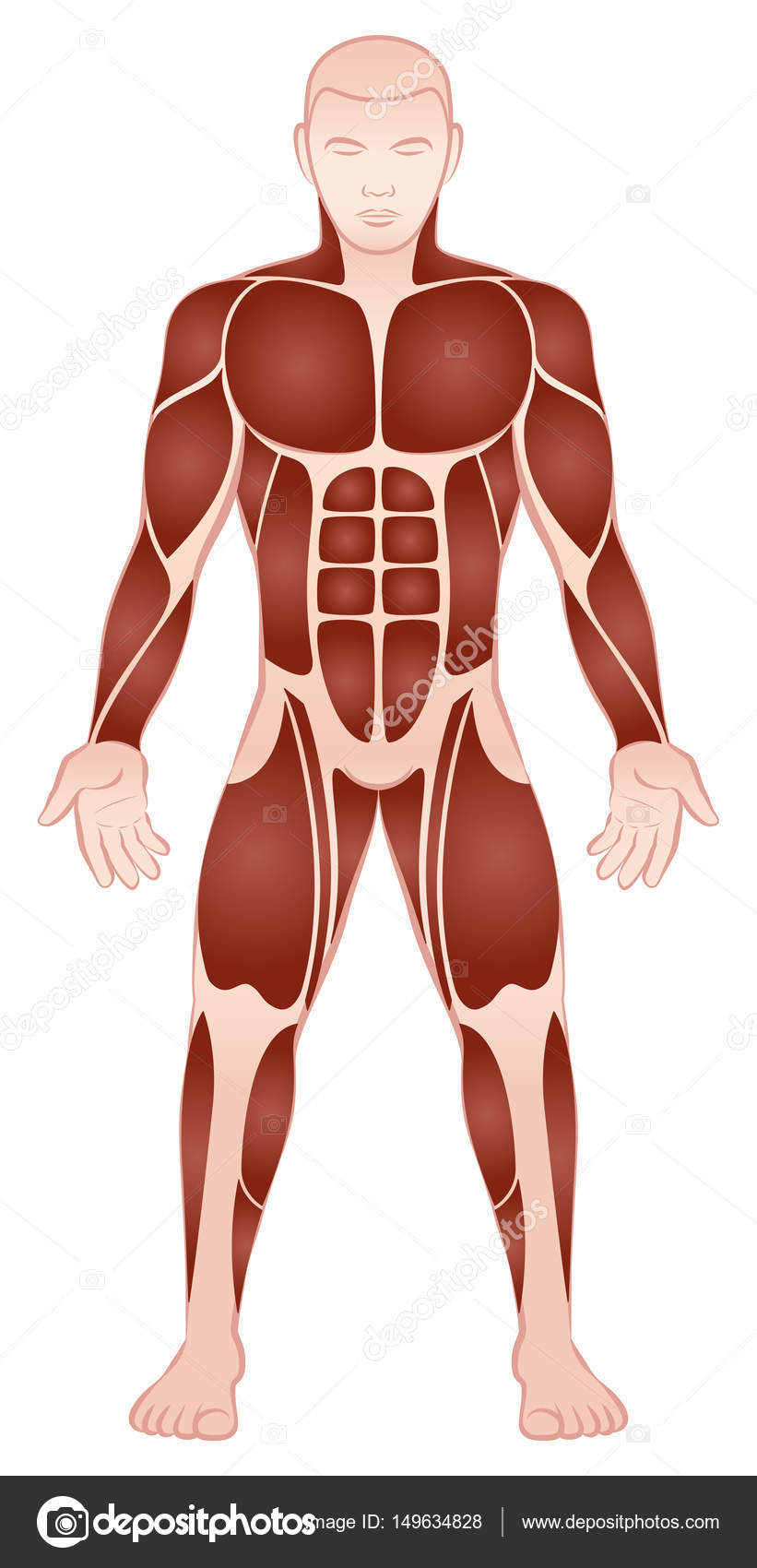 Large Muscle Groups Male Body Front View — Stock Vector © Furian ...