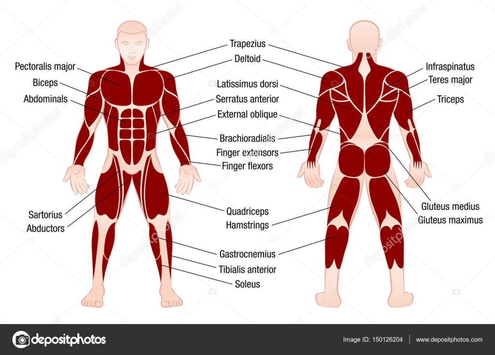 Los músculos gráfico Descripción cuerpo musculoso hombre — Vector de ...