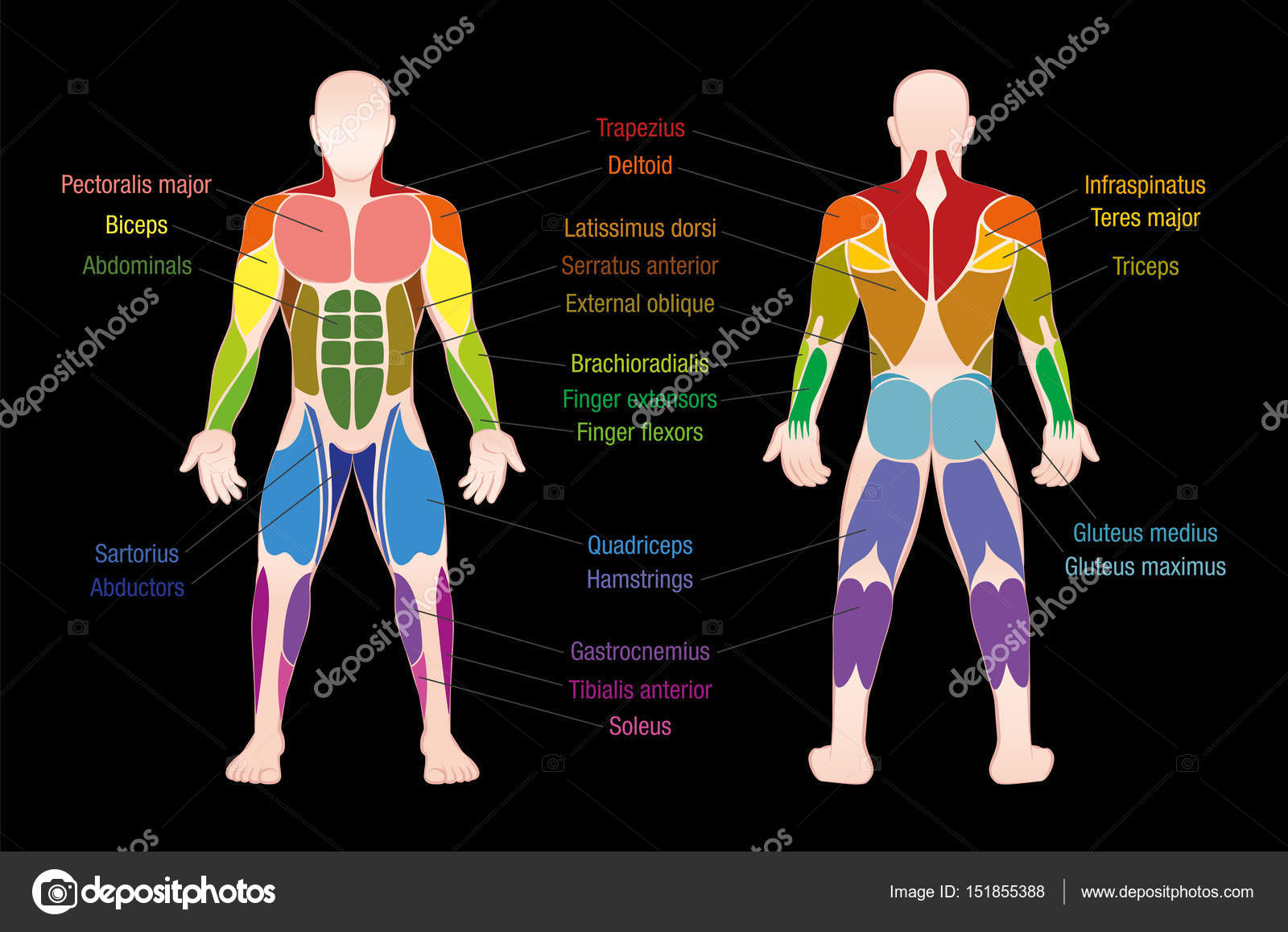 Músculos de color muscular tabla cuerpo masculino — Vector de stock ...