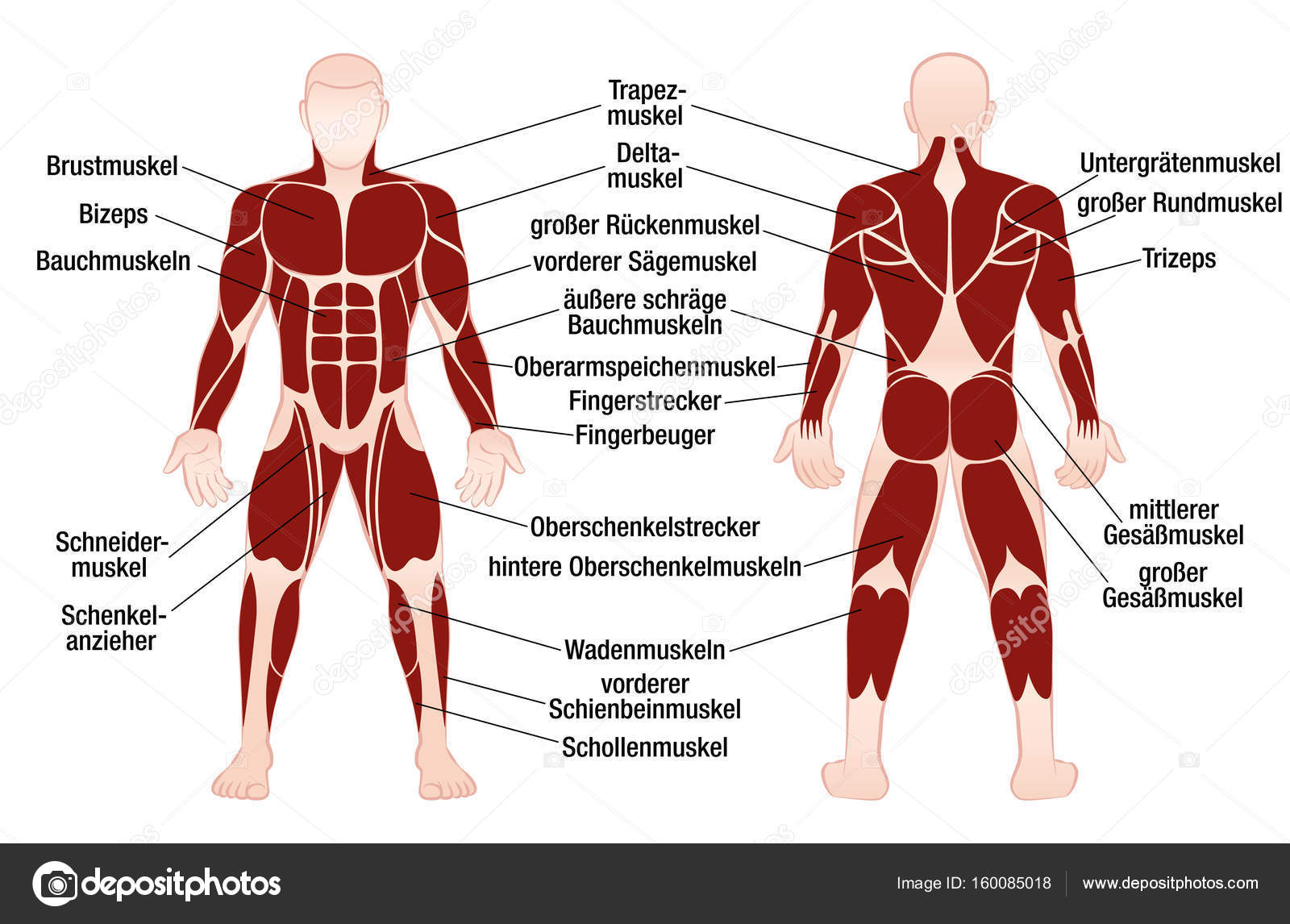 muscle diagram with names choice image