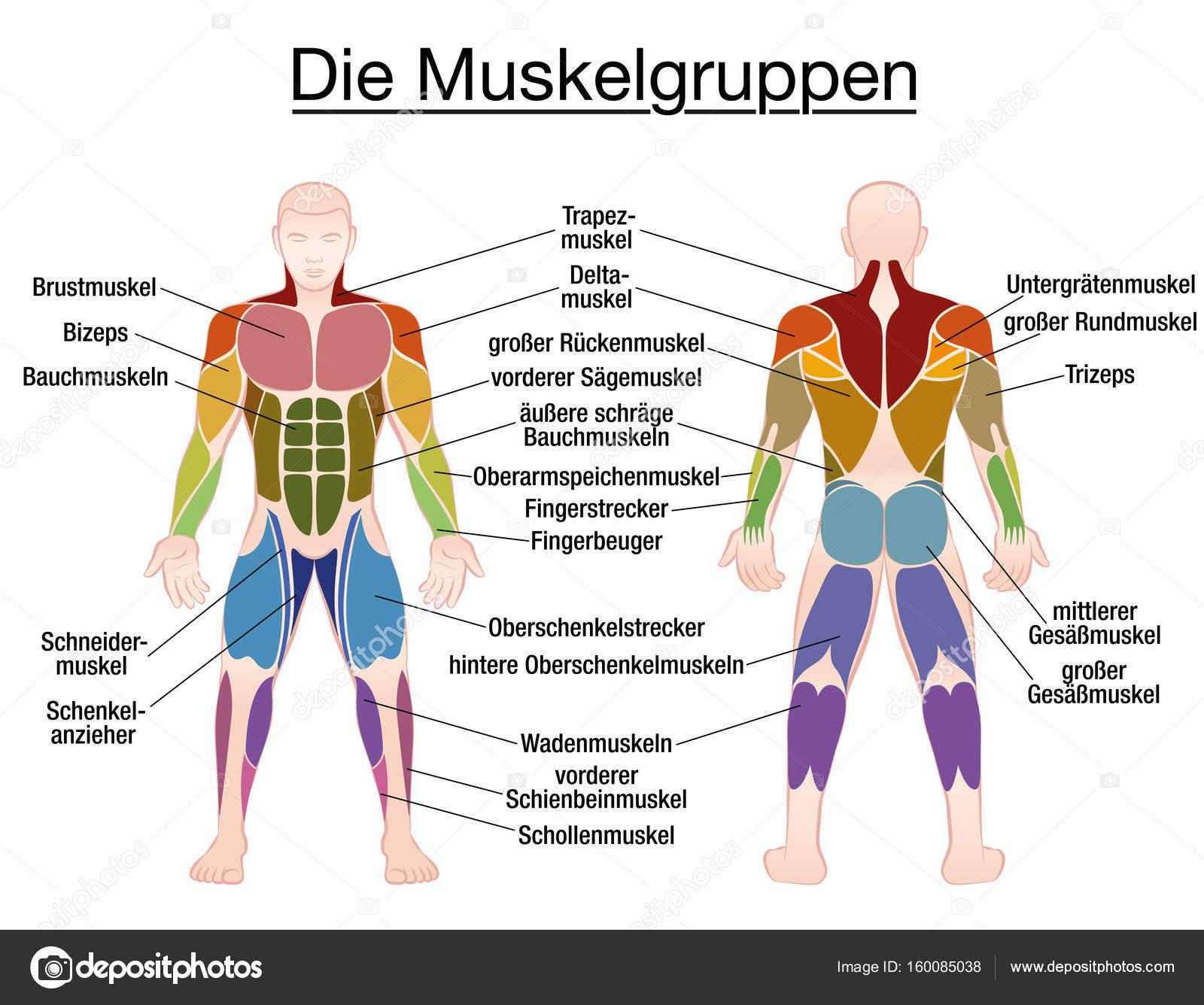 Muskel-Diagramm deutsche Text männliche Körper — Stockvektor ...