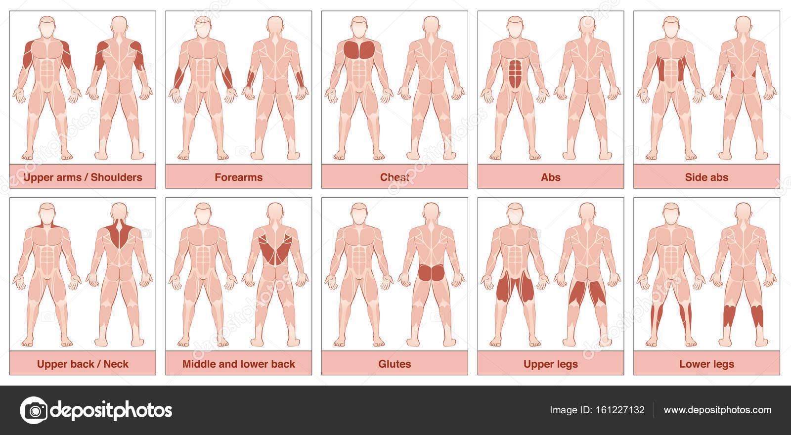Tabla de grupos musculares — Vector de stock © Furian #161227132