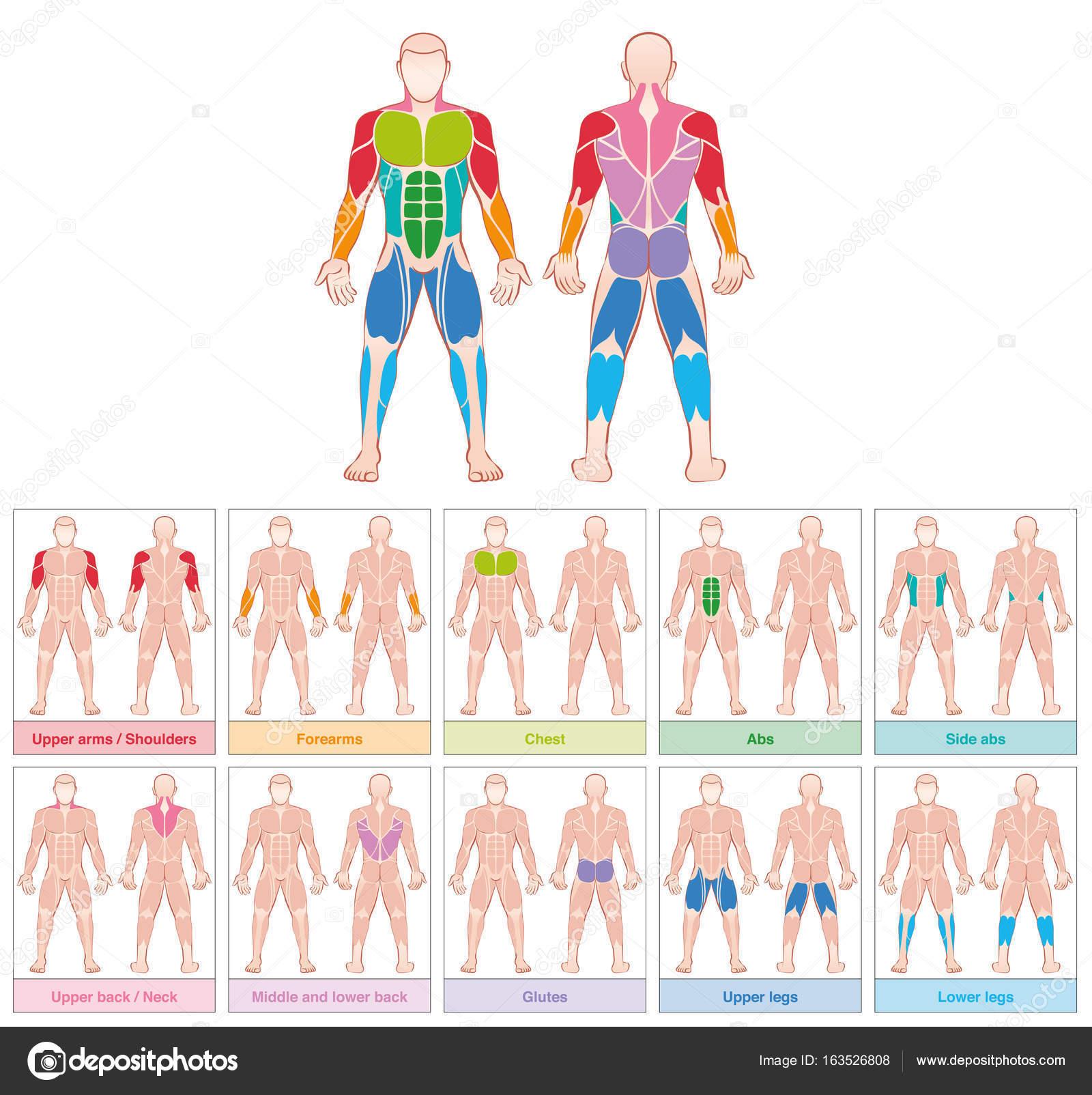 Muskel Gruppen farbigen Diagramm — Stockvektor © Furian #163526808