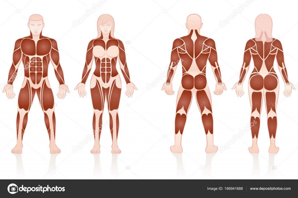Male Female Muscles Anatomic Comparison — Stock Vector © Furian ...