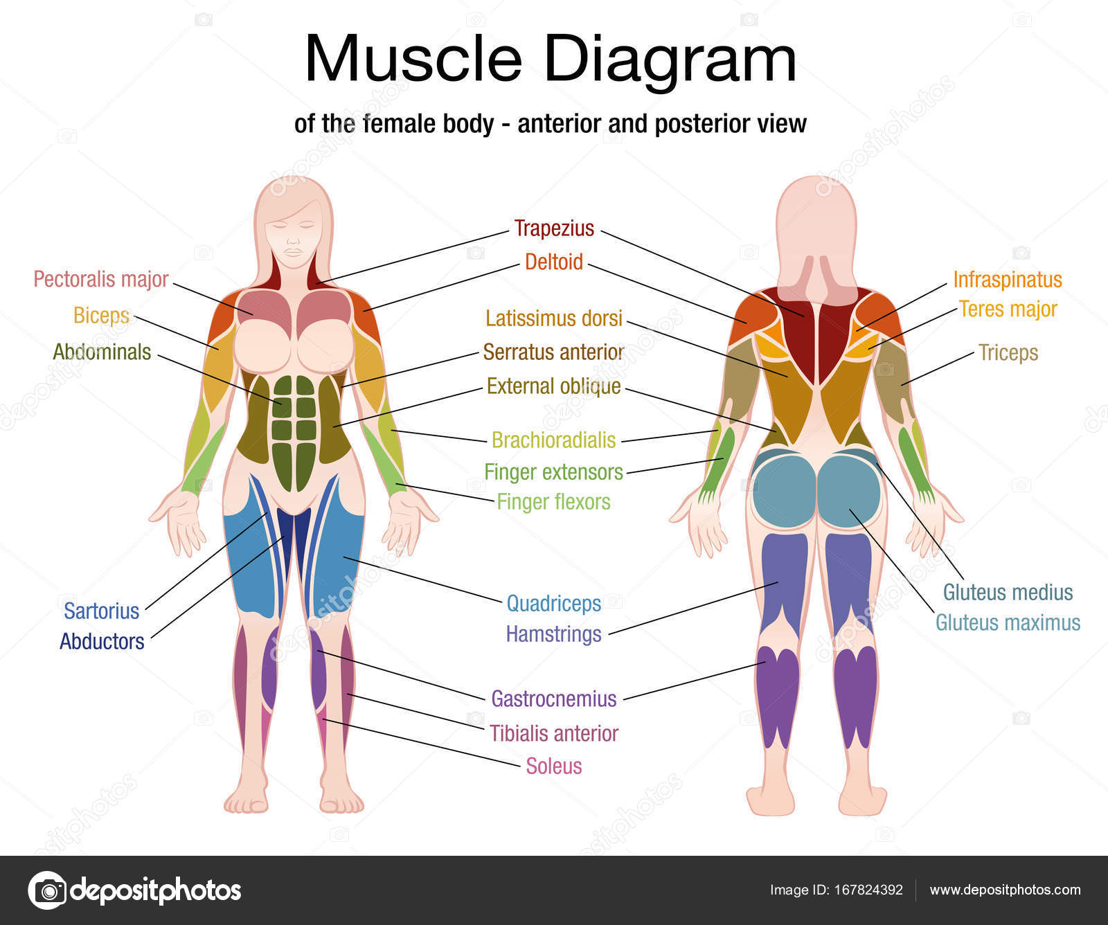 Pictures  Female Muscle Diagram