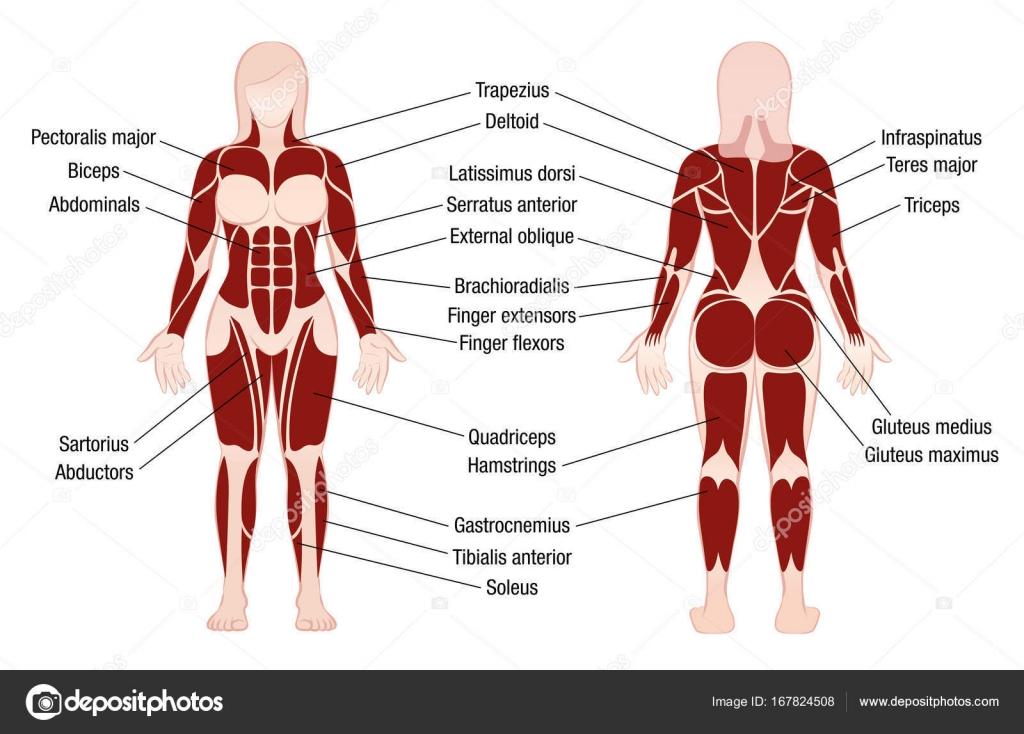 Mujer de cuerpo Muscular músculos gráfico Descripción — Vector de ...