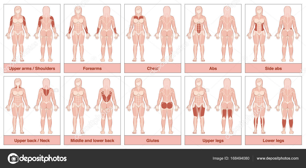 Muskel-Gruppen-Diagramm-Frau — Stockvektor © Furian #168494080